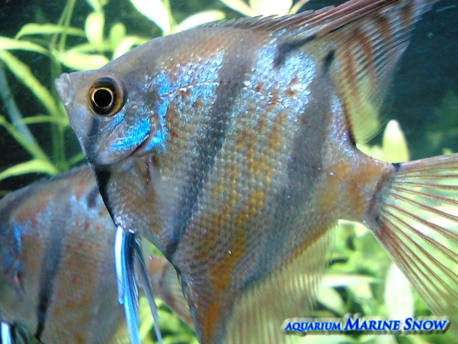 ブルーエンゼル〔淡水熱帯魚〕